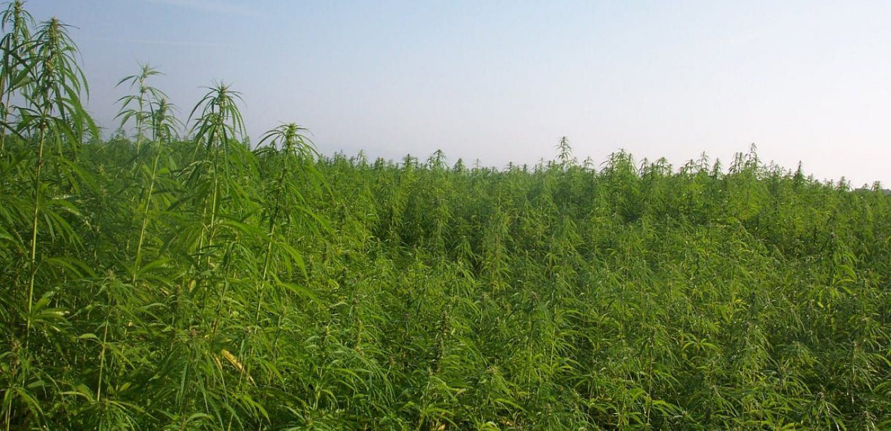 industrial hemp field industrial hemp field